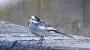 よく駐車場で見かける足が速い鳥、ハクセキレイを調べてみた!